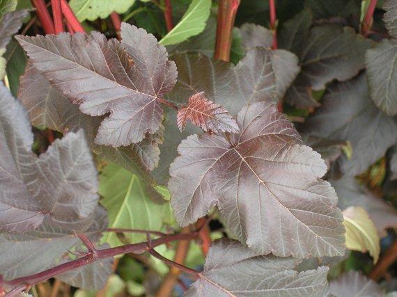 Physocarpus-Diablo