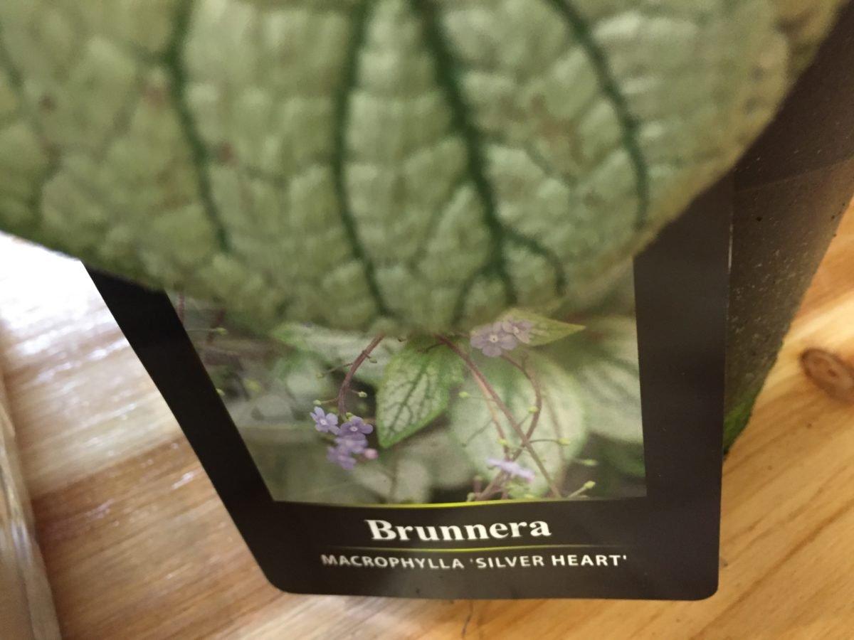 Brunnera macrophylla-Sea Heart