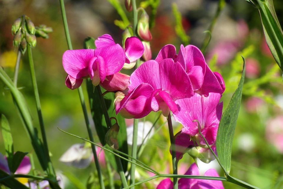 Pisello odoroso-potatura