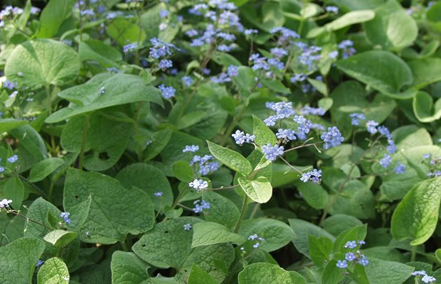 Brunnera-macrophylla-impianto