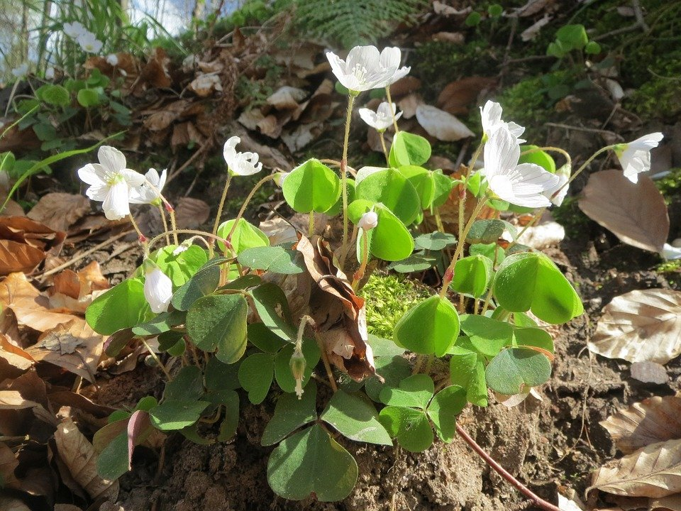 oxalis-acetosella-fioritura