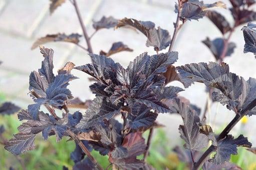Physocarpus-fisocarpo