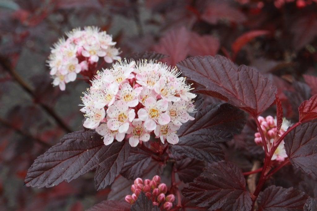 Physocarpus-fiori