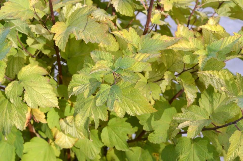 Physocarpus-foglie