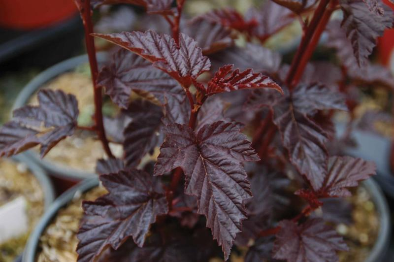Physocarpus-rinvaso