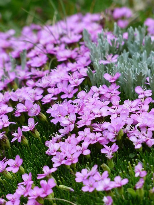 Silene-steli-fiori