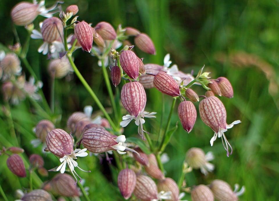 Silene-vulgaris-Strigoli