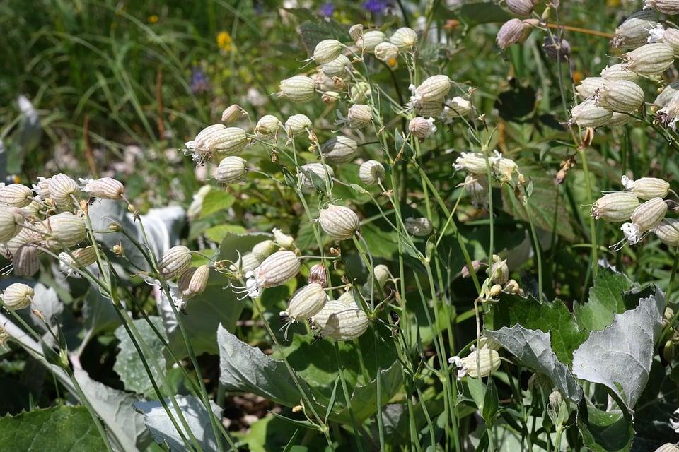 Silene-vulgaris