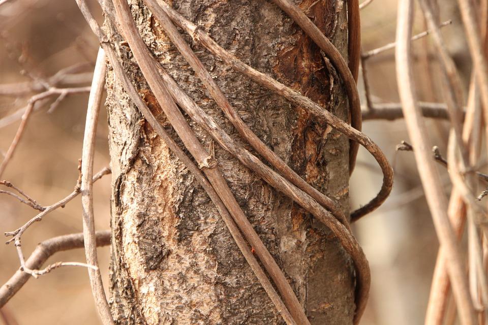 Vitalba-pianta-infestante
