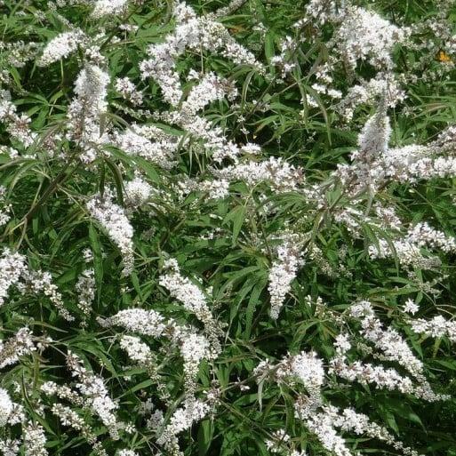 Agnocasto-fiori-bianchi
