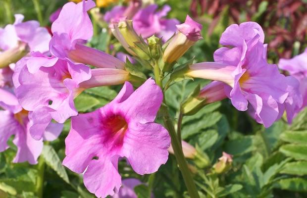 Incarvillea-delavayi-fioritura