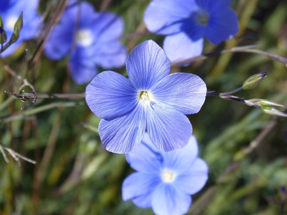 Linum-pianta-perenne
