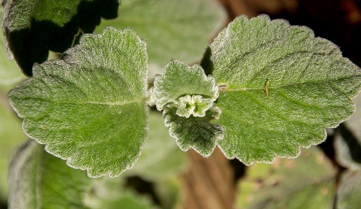 Plectranthus caninus-foglie