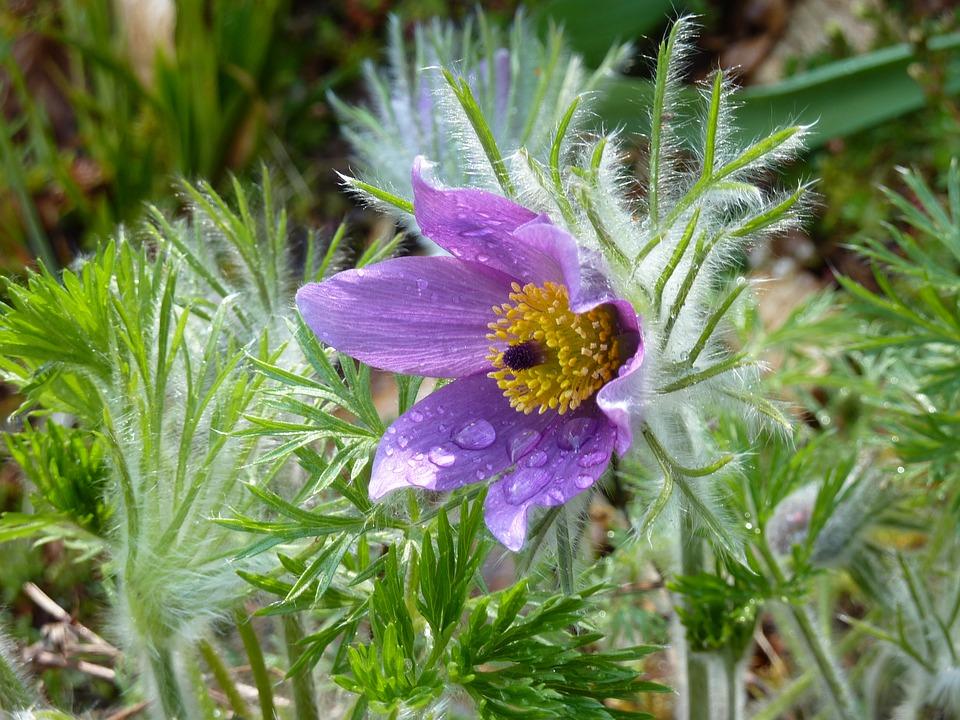 Pulsatilla-fiore