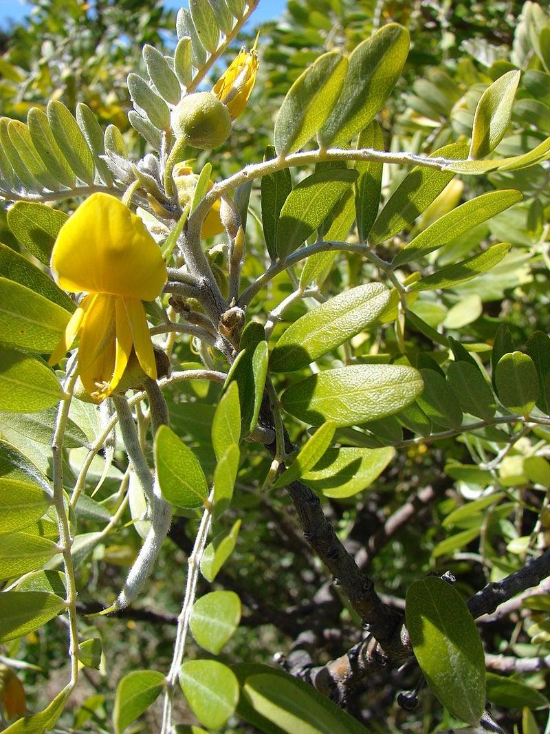Sophora-chrysophilla