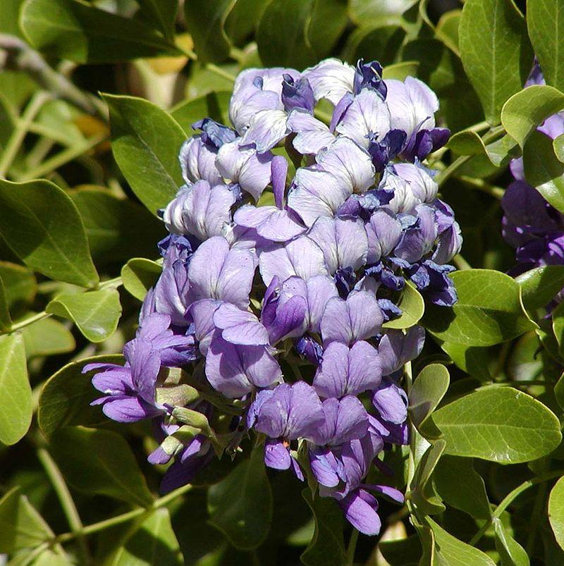 Sophora-secundiflora