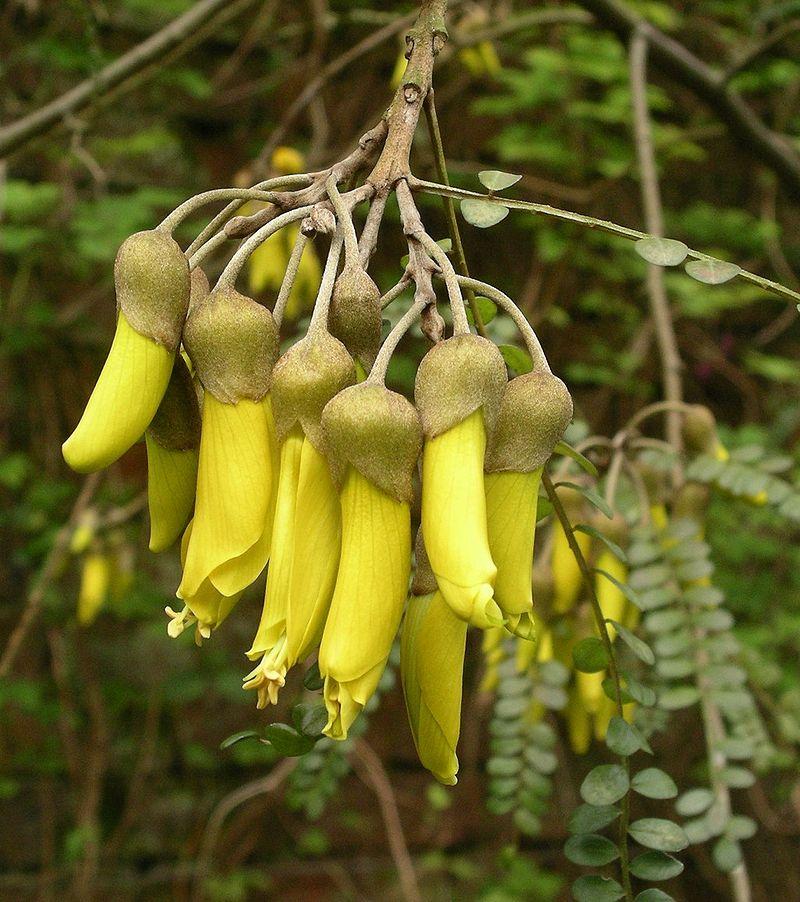 Sophora tetraptera-fiori