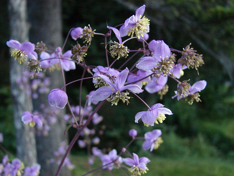 Thalictrum-rochebrunnianum