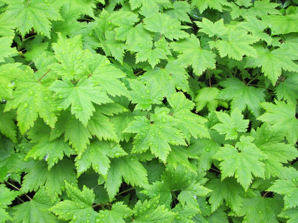 Tiarella-foglie