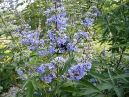 Vitex-latifolia