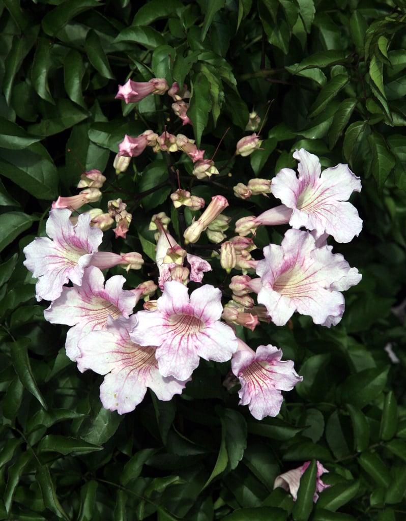 Podranea-fiori-foglie