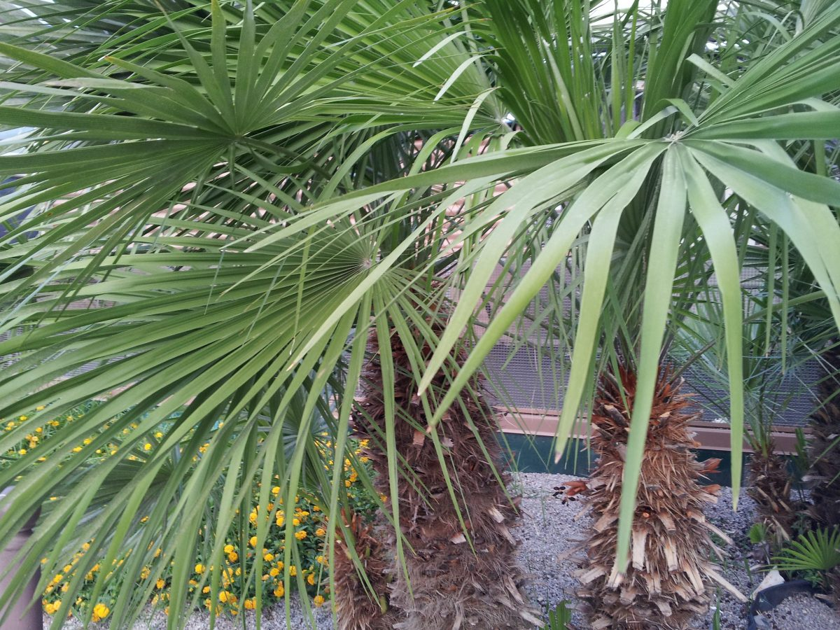 Palma nana chamaerops coltivazione for Pianta palma