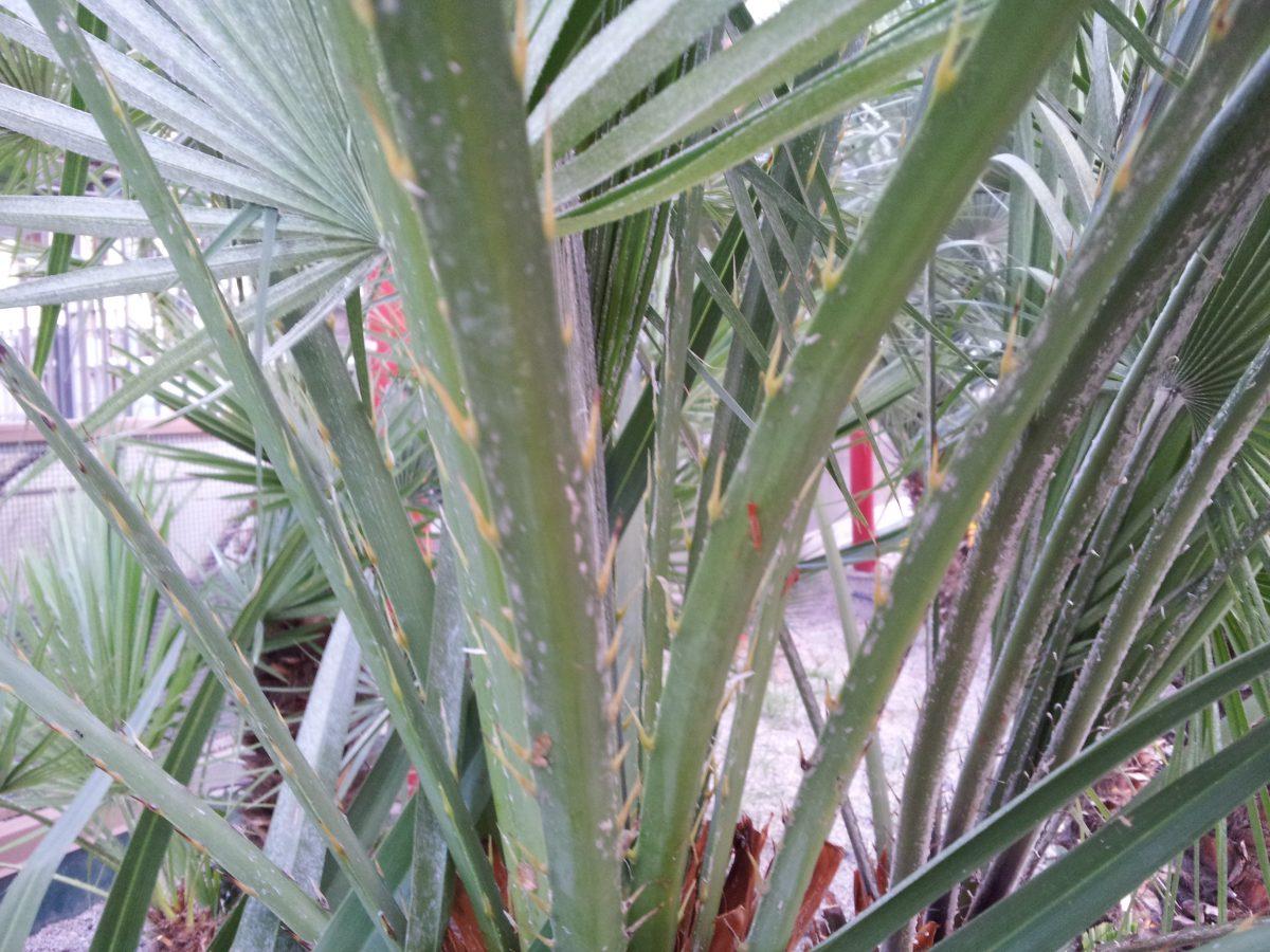 Parassiti-Palma nana