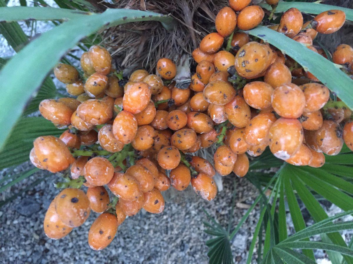 palma nana-usi