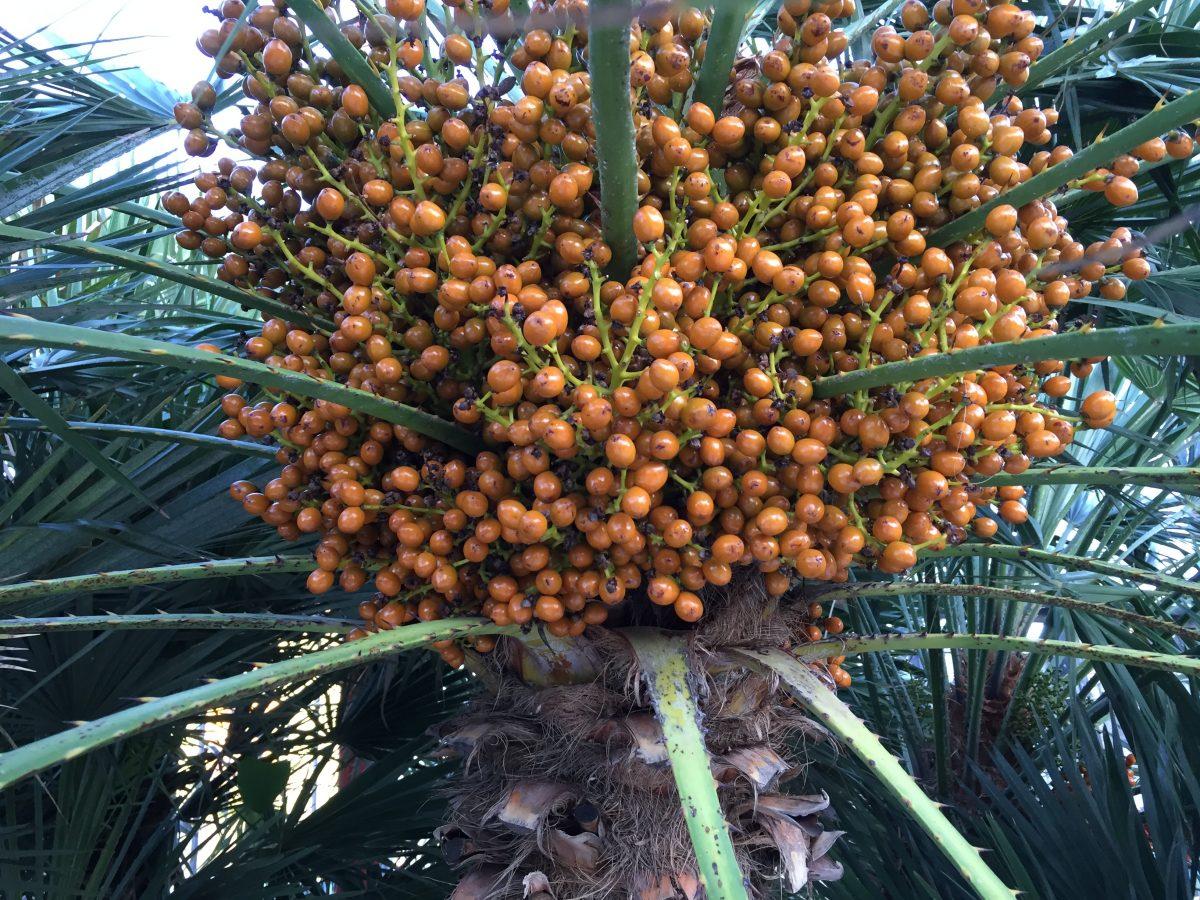 Palma-nana-bacche