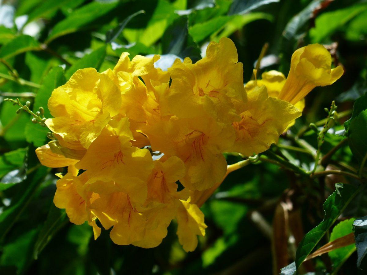 Tecomaria-varietà