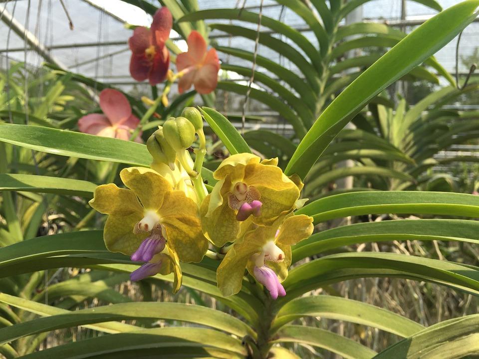 Cambria-orchidea-ibrida