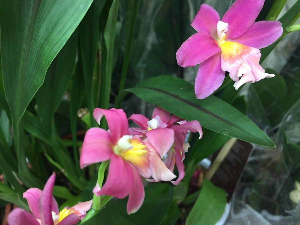 Cambria-fiori-orchidea