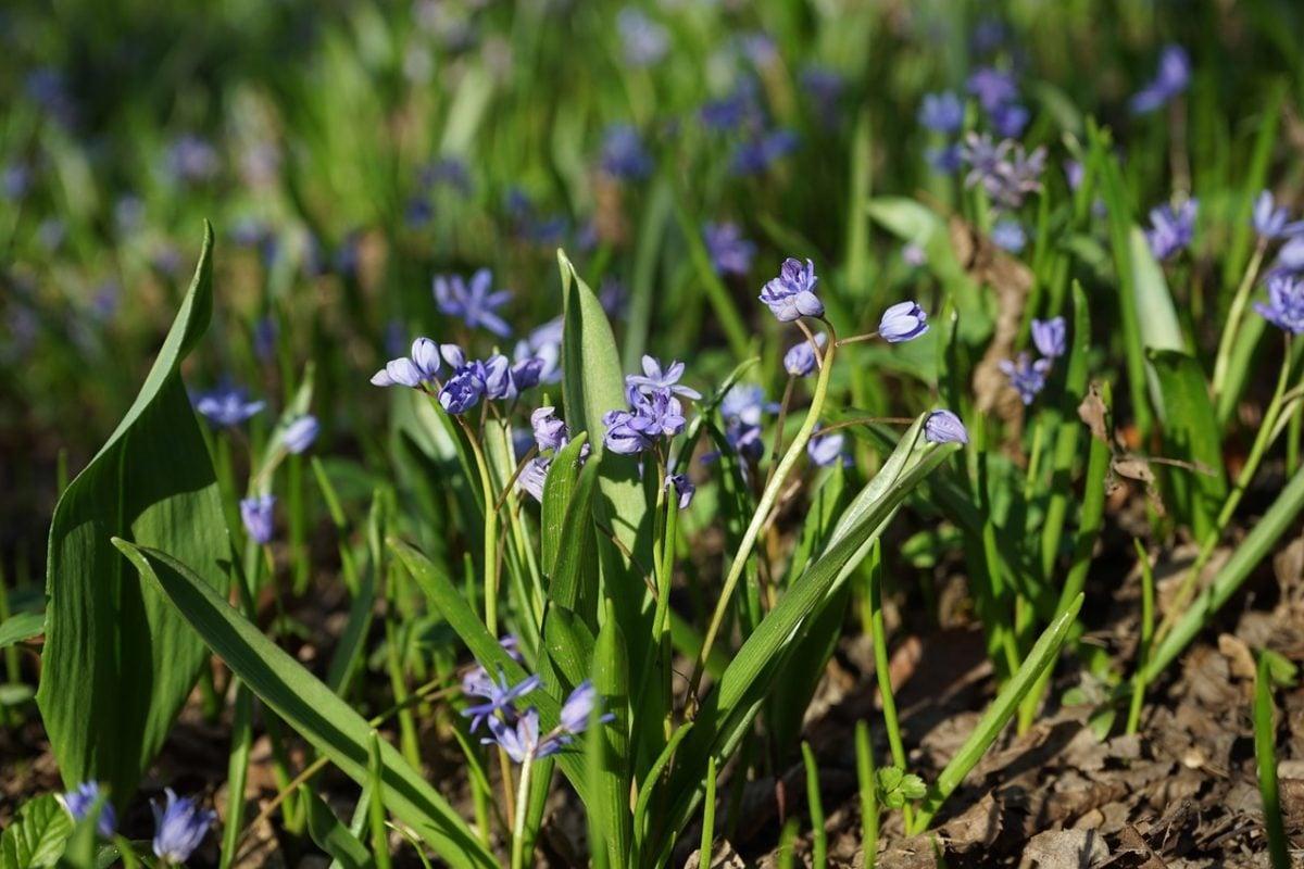 Chionodoxa-fioritura