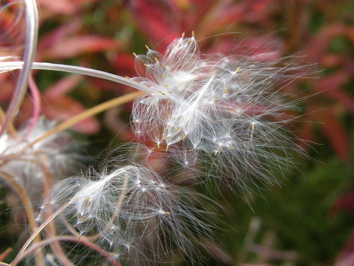 Epilobio.semi