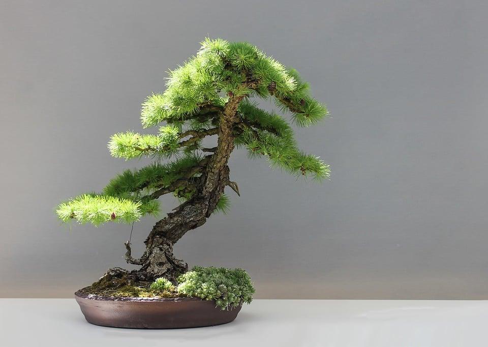 Larice-bonsai