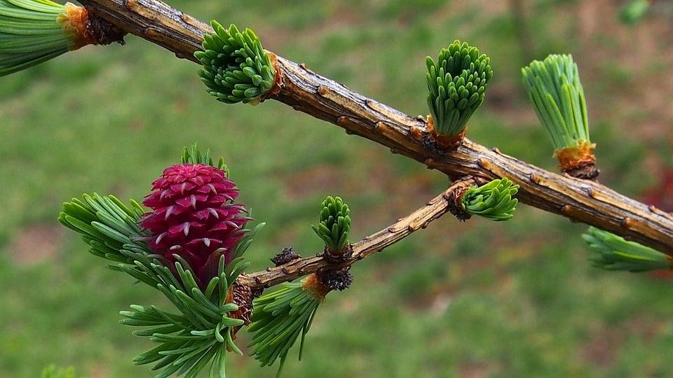 Larice-foglie-fiori