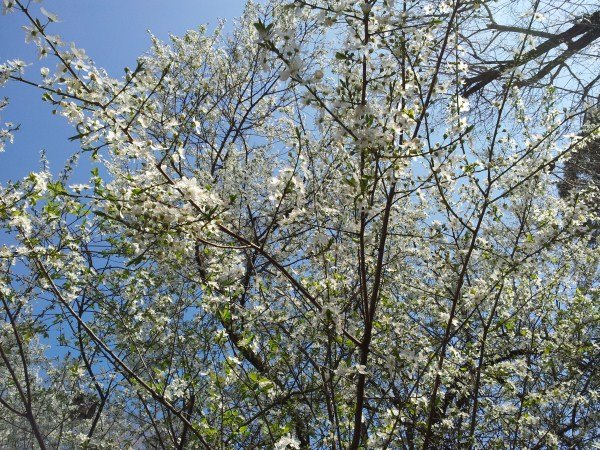 Prunus cerasifera- Mirabolano