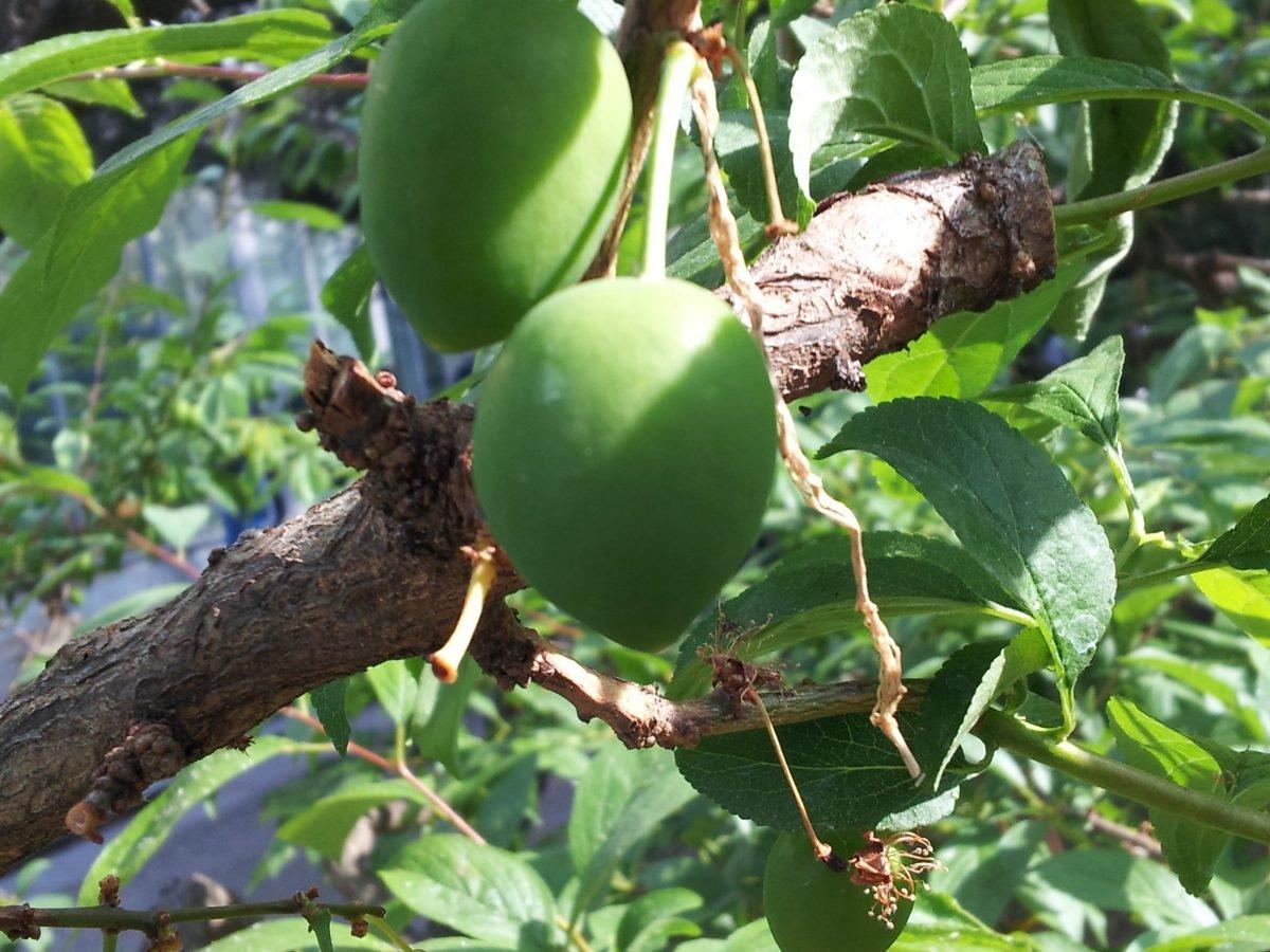Mirabolano-frutti-amoli