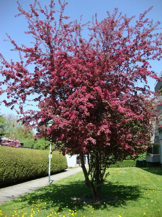 Mirabolano- Prunus cerasifera