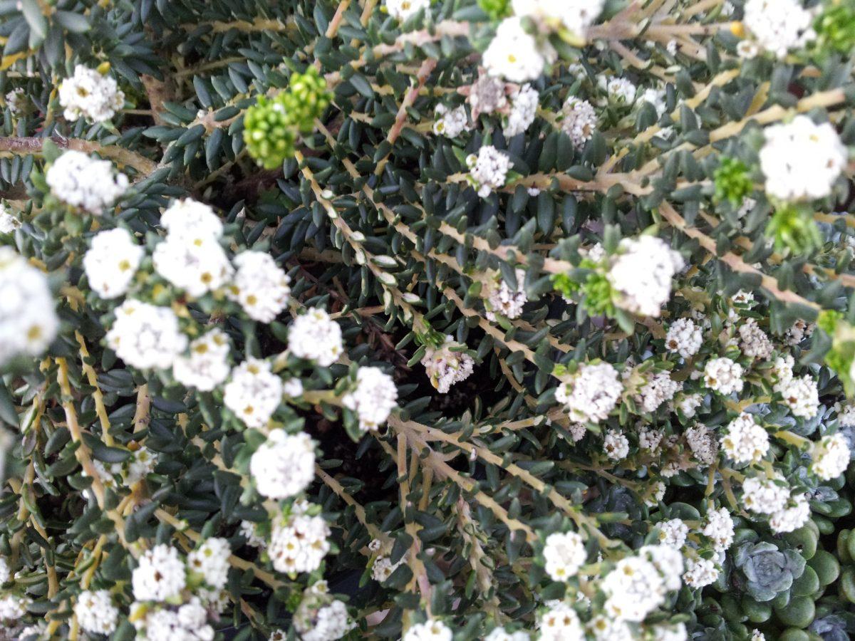 Philica-fiori