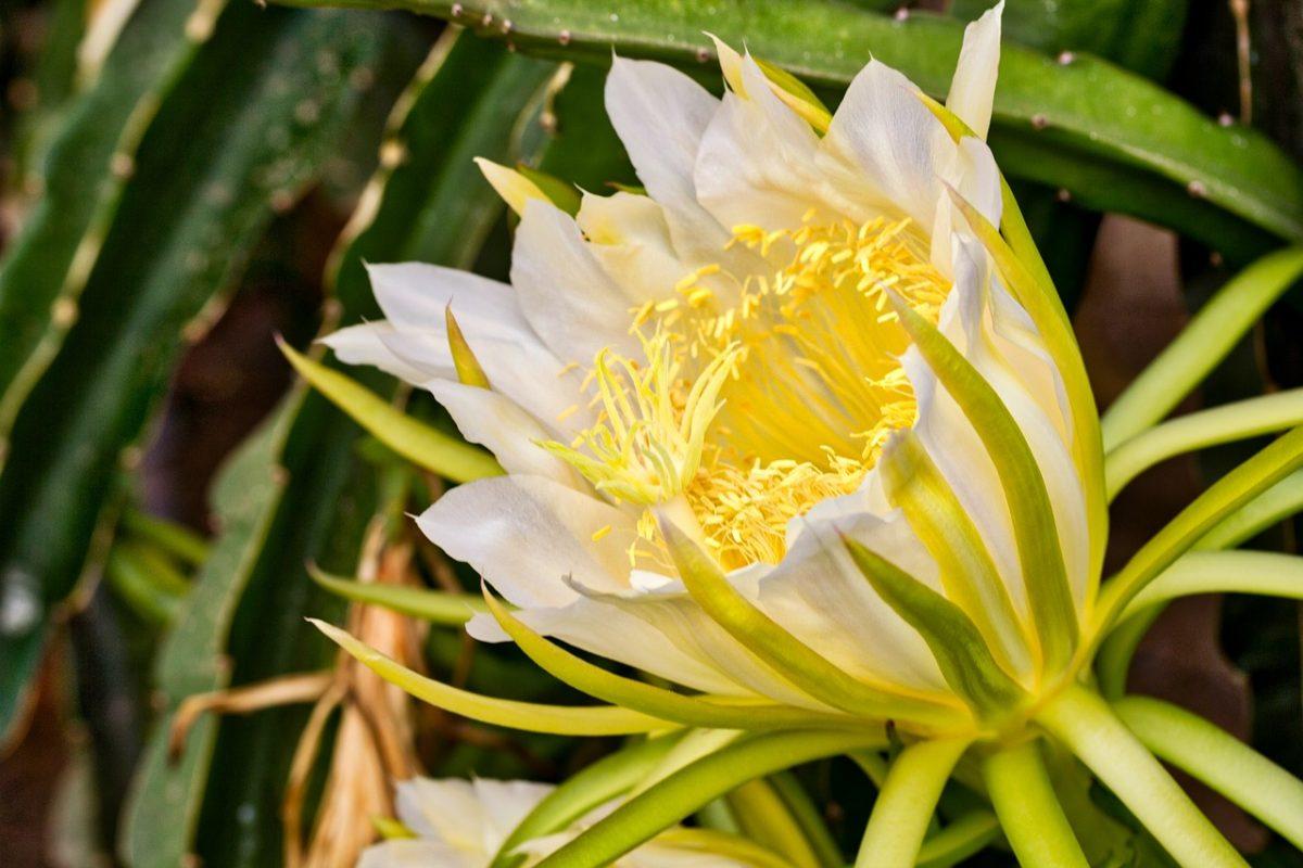 Pitaya-fiore