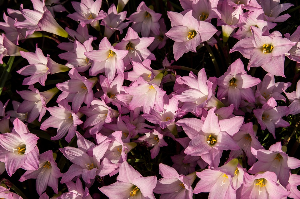 Zephyrantes-grandiflora-rosea