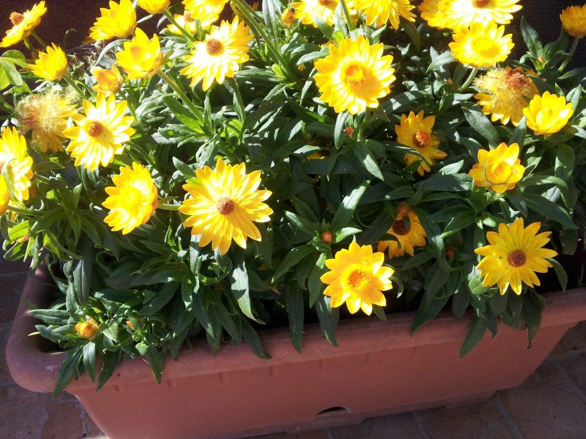 Asteriscus-fioritura