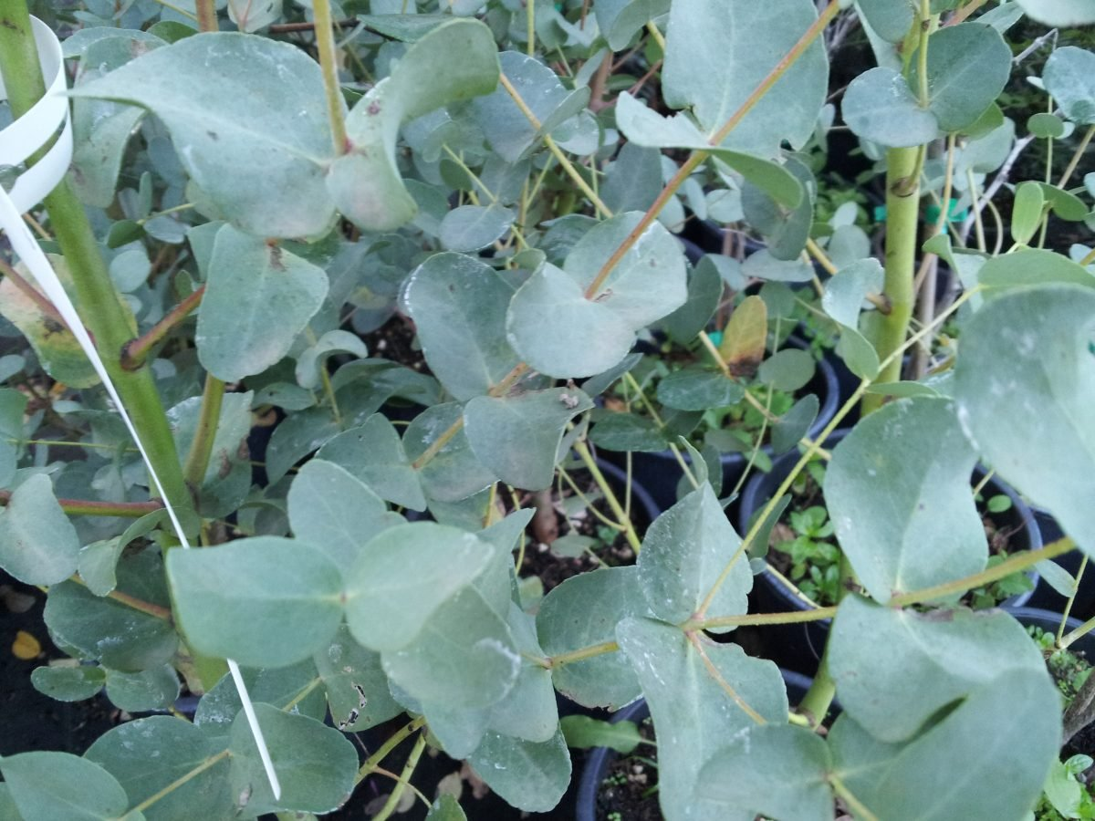 Eucalyptus-gunnii-foglie