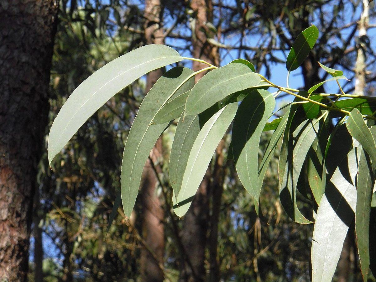 Eucalipto-foglie lanceolate
