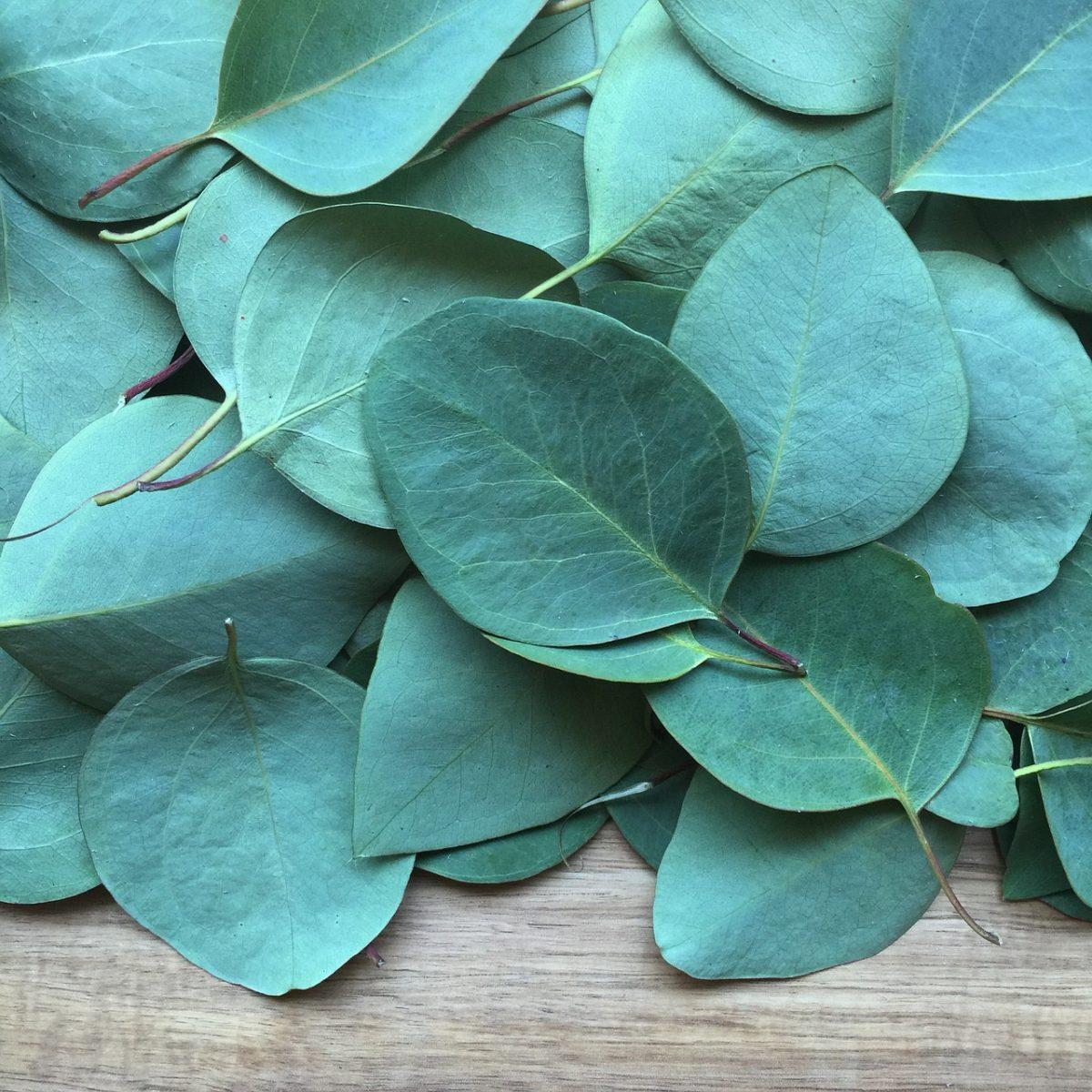 Eucalipto-foglie-usi