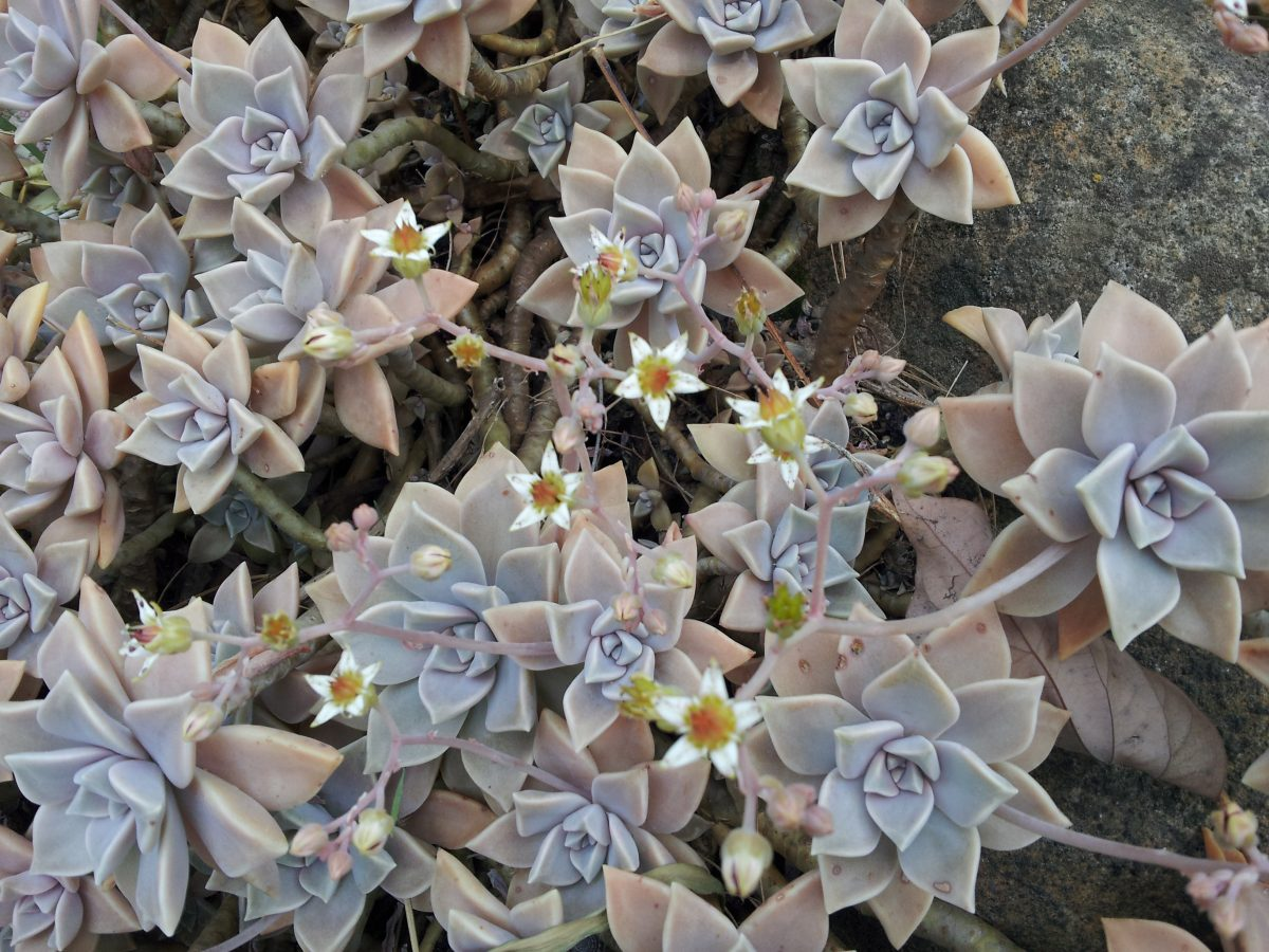 GGraptopetalum-pianta grassa