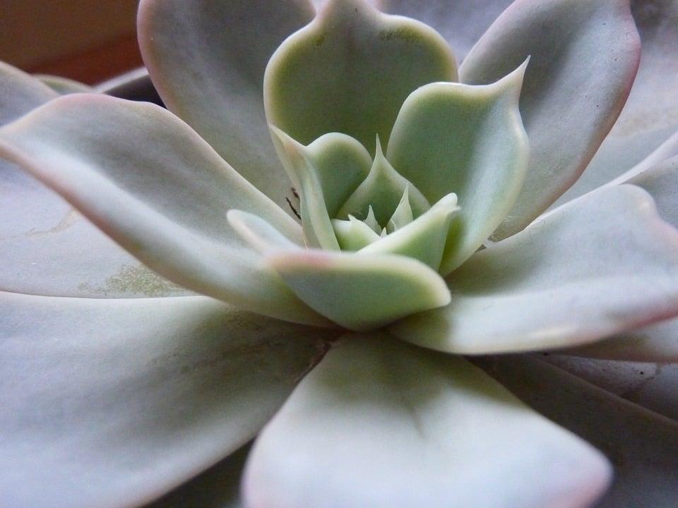 Graptopetalum-rosetta