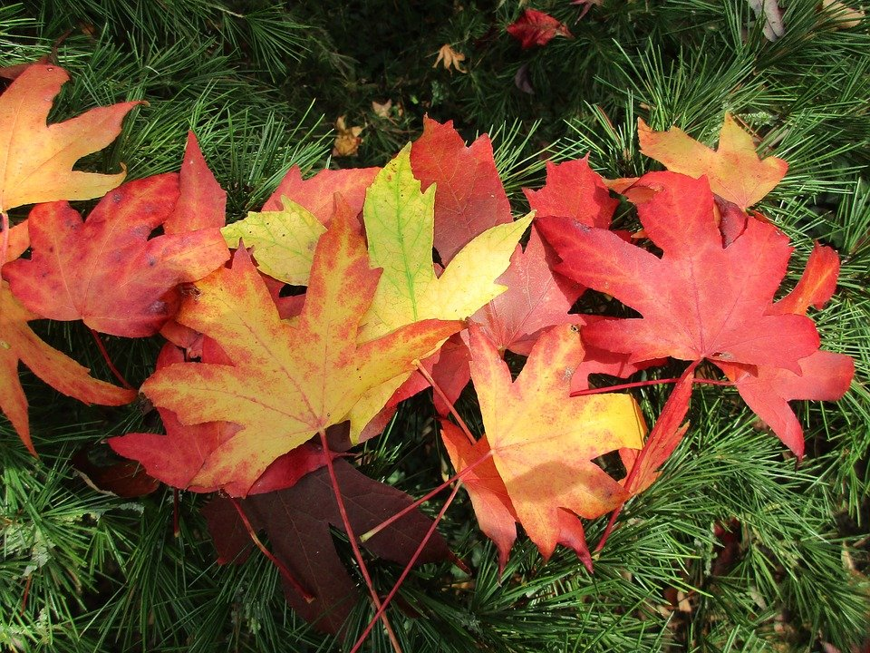 Liquidambar-foglie-autunno
