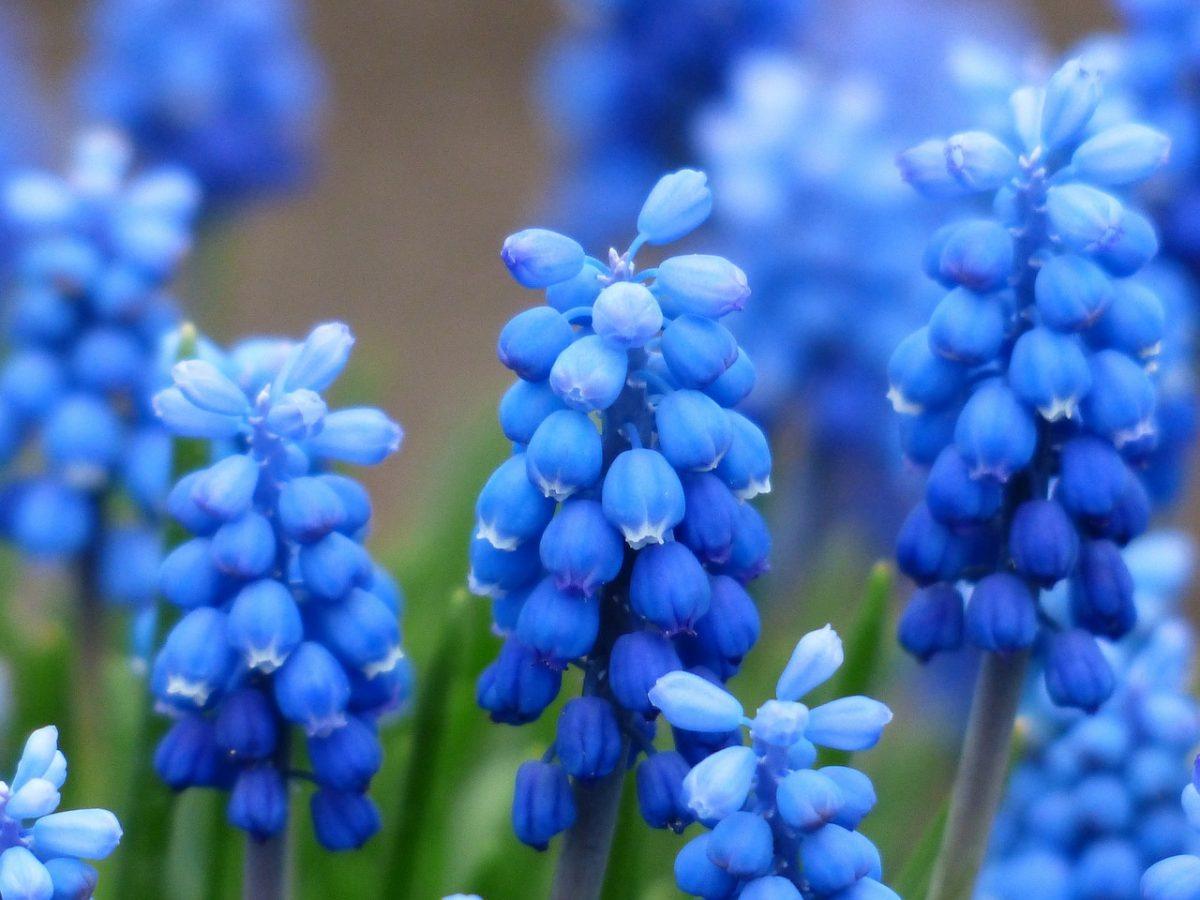 Muscari-azzurri
